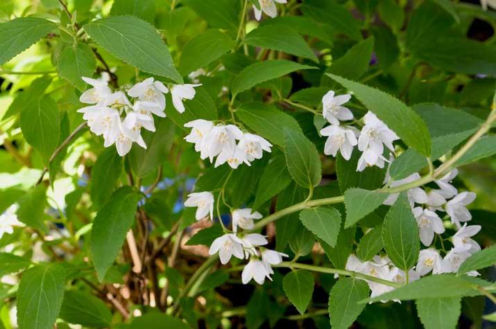 卯の花(初夏)