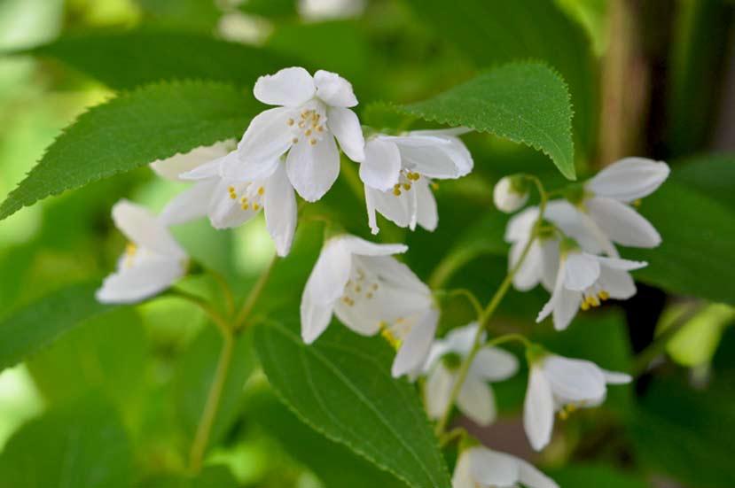 卯の花の匂う