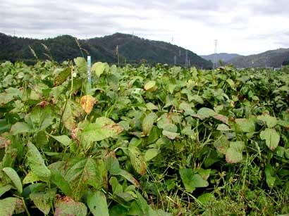 京白丹波大豆の試験農場(八木町)