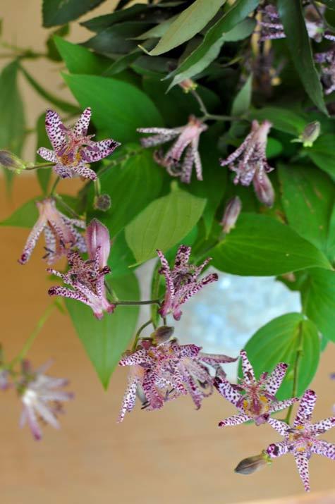 野路に輝く花ホトトギス(西村陽甫先生の花)