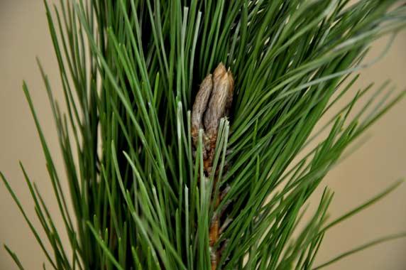 松が枝の若芽